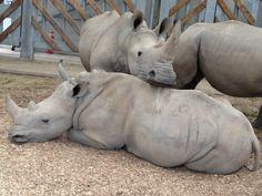 It's a rhino snuggle! Anna's Welsh Zoo, Pembrokeshire, West Wales, SA70 8RJ