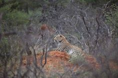 #leopard basking in the daylight in the Okonjima Nature Reserve in Namibia