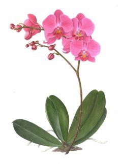 Phalaenopsis, roze-paarse 2014