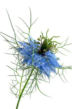 Nigella damascena Ref-0235