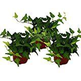 Hedera Helix, Herbs, Plants, Herb, Ivy, Plant, Planets, Medicinal Plants