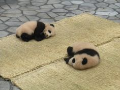 Twin baby pandas  Adventure World, Wakayama, Japan