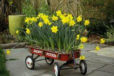Radio Flyer daffodils