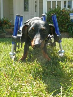 Meet Jax, a Petfinder adoptable Dachshund Dog   Corona, CA   The application is the first step in the adoption process, so if you are interested in adopting...