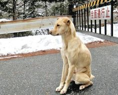 A loyal dog has been patiently waiting for over a week for his owner's return, sitting at the side of a remote mountain road while enduring extremely cold weather, snow and rain. The abandoned dog was first spotted by an elderly couple in their 70s while they were out driving on December 4 in the city of Iida, Nagano prefecture, in Japan. The dog was out front of a vacant lot roughly 1000 meters above...