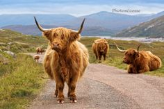 Highland Cattle. Kinloch Hourn, Glen Garry. Highland Scotland.