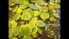 Редкое аквариумное растение Редкое аквариумное растение