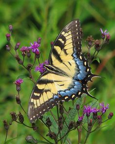 ~lady Tiger on purple ironweed ~ Tiger Swallowtail Butterfly by Vicki's Nature~