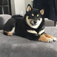 Picture of our relaxed little princess before she knew she had to go to the vet for her spaying waiting for the surgery to be done at any moment now . . . #shibainu #shiba #yycshiba #koyotekennels #doge #dogstagram #petlovers #puppies #puppiesofinstagram #shibainu #shibastagram #shibainc #proudshibas #shibafeed #shibainupuppy #japanese #pawfriends #shibasmile #柴犬 #黑柴 #babygirl #blackandtanshiba #yyc #yycdogs #furbaby