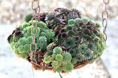 Sempervivums Types Of Succulents, Colorful Succulents, Hanging Succulents, Growing Succulents, Succulents In Containers, Succulents Garden, Growing Plants, Dappled Light, Coastal Gardens