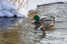 """""""On A Winter Afternoon"""" photo by Penny Meyers.  Fine art prints, greeting cards, throw pillows and more from Fine Art America.    #ducks #mallards #waterfowl #wildlife"""