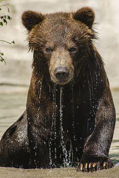Grizzly cub (by Britt Martin)