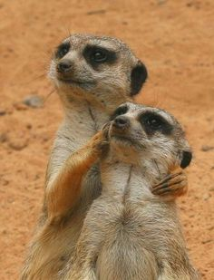 I don't know how they do it, but these meerkats look noble. #meerkats