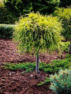 Sungold Sawara Cypress Tree Form For Sale Online Plants For Planters, Outdoor Plants, Garden Plants, Landscape Plans, Landscape Design, Ground Cover Plants, Outdoor Landscaping, Landscaping Trees, Italian Garden