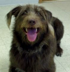 Cocoa is an adoptable German Wirehaired Pointer Dog in Milford, IA ...
