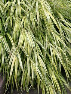 Hakonechloa - Aureola (Golden Hakone Grass, Japanese Forest Grass)