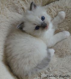 Blue Point Mitted Ragdoll Kitten