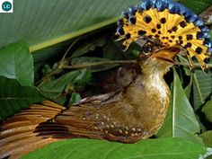 Đớp ruồi Hoàng gia Trung và Nam Mỹ   Royal flycatcher (Onychorhynchus coronatus)(Tyrannidae)(Onychorhynchus) IUCN Red List of Threatened Species 3.1 : Least Concern (LC)   (Loài ít quan tâm) https://www.facebook.com/pages/THI%C3%8AN-NHI%C3%8AN-K%E1%BB%B2-TH%C3%9A/171150349611448?ref=hl