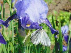 Ирис/цветок #flowers