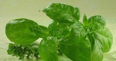 """The name of this powerful natural antibiotic is basil – the King of Herbs. Basil is one of the ancient and popular herbal plants brimming with notable health-benefiting phytonutrients. This super healthy plant is revered as """"holy herb"""" in many cultures al Natural Herbs, Natural Health, Natural Juice, La Constipation, Herbal Plants, Medicinal Herbs, Healthy Herbs, Healthy Food, Natural Antibiotics"""