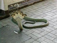 a five-headed snake found in Kukke Subramanya, near Mangalore, Karnataka, southern part of India. Unbelievable!
