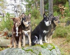 Lapponian Herder dog photo | Lapponian Herder Dog | Dog & Puppy Site