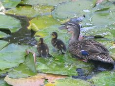 In our backyard is a pond they made it there home ,cute !!!