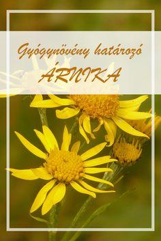 Az Árnika népies neve:  Angyalital, anyagyökér, kappanfű, máriafű, olaszútifű.  Hogyan gyűjtsük az Árnika gyógynövényt?  A növény virágzatát használják gyógyteakészítésre. Doterra, Spices, Alternative, Herbs, Plants, Therapy, Amigurumi, Arnica Montana, Spice