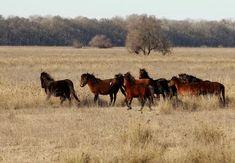 Die Wildpferde bewegen sich frei im Schutzgebiet Work Horses, Cute Horses, Beautiful Horses, Danube Delta, Veterinary Care, Places In Europe, Happy Animals, Orangutan, Animal Welfare
