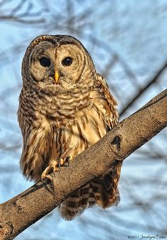 Barred Owl-just love these birds. One resides in my neighborhood and can be heard most nights.