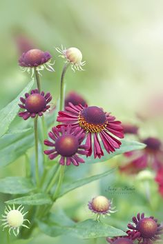 Helenium 'Ruby Tuesday' by Jacky Parker on 500px