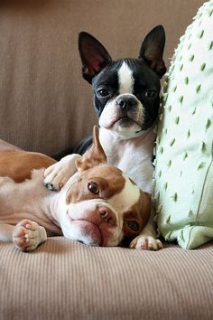 boston terriers omg freakin cuteness