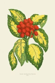 Aucuba Japonica - Most books on Victorian gardening include references to James Shirley Hibberd