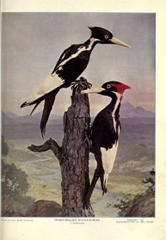 ivory billed woodpecker birds illustrated by color photography vol iii 1897