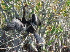 Bird Photos, Birding Sites, Bird Information: ANHINGA DRYING ITSELF, ANHINGA TRAIL, EVERGLADES N...