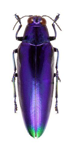 Chrysochroa fulminas violacea   http://storage.canalblog.com/36/80/119589/108621897_o.jpg