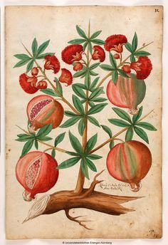 Pomegranate, from Magnarum Medicinae partium herbariae et zoographiae imaginesm, 1553. Owned by Christoph Jacob Trew, Nuremberg. University of Erlangen.
