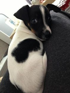 A black and white Jack Russell.