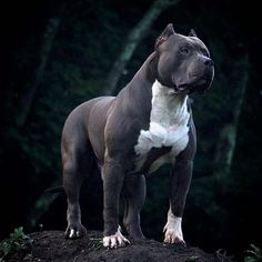 Uplifting So You Want A American Pit Bull Terrier Ideas. Fabulous So You Want A American Pit Bull Terrier Ideas. Cute Puppies, Cute Dogs, Dogs And Puppies, Doggies, Pitbull Terrier, Bull Terriers, Boston Terrier, American Pit Bull Terrier, Scary Dogs
