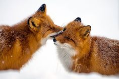 Tuchfühlung Füchse sind nur bei der Nahrungssuche Einzelgänger. Neuere Untersuchungen zeigen, dass die Tiere in Familiengruppen mit ausgeprägten Sozialstrukturen leben