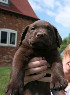 Mind Blowing Facts About Labrador Retrievers And Ideas. Amazing Facts About Labrador Retrievers And Ideas. Labrador Retriever Chocolate, Perro Labrador Retriever, Chocolate Lab Puppies, Chocolate Labs, Retriever Puppies, Cute Puppies, Cute Dogs, Dogs And Puppies, Doggies