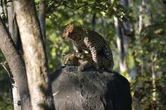 Leopards by Harsha J.