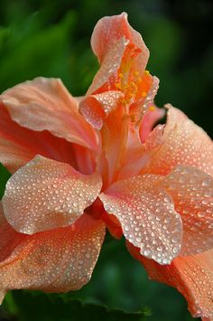 ~~Peach of a shot ~ Peach Canna by (archer10) Dennis~~