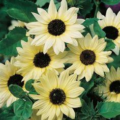 Sunflower Vanilla Ice Seeds - Irish Plants Direct