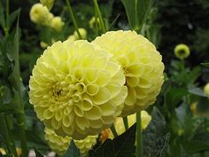 Dahlia Golden Scepter - Cheery yellow 4 to 6 inch blooms