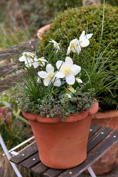 Pot of the month: February. Contains Helleborus niger, Carex muskingumensis and Thyme 'Silver Queen'. Photo by Sarah Cuttle. To make a similar winter pot, visit http://www.gardenersworld.com/plants/pots-containers/autumn-winter/hellebore-and-carex-pot-display/1166.html