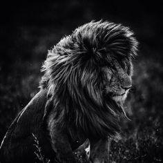 Leeuw grijs