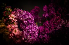 Lilacs and lefkojes by Michaela Sibi