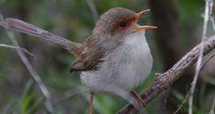 Delightful divas. Female birds have a tuneful history.