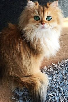 Cute Baby Cats, Cute Cats And Kittens, Cute Baby Animals, Cool Cats, Kittens Cutest, Animals And Pets, Ragdoll Kittens, Tabby Cats, Funny Kittens
